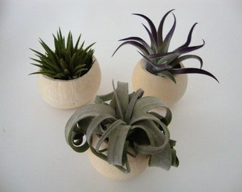 Bell Cup Air Plant - Natural Air Plants Assortment in Bell Cups - Assorted Variety - Wedding, Gift, Guest Favor, Bridal, Baby Shower, Event