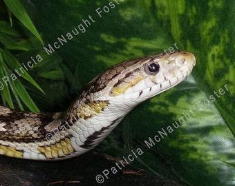 Closeup of a Gray Corn Snake