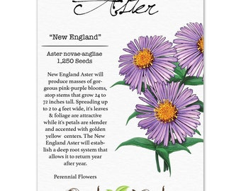 New England Aster Seeds (Aster novae-angliae) Non-GMO Seeds by Seed Needs