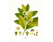Vintage Herbs - Allspice  Traditional Botanical Giclee Art