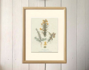 Common Furze, Gorse, Vintage Botanical Print, Book Plate 7, English Country Cottage Decor, Reproduction Print, 6 x 8,  8 x 10, 9 x 12
