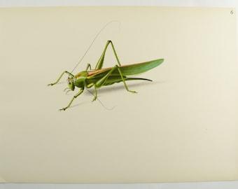 Green Grasshopper Print, 1943 Vintage Print, 1943 Antique Art Print, Niklaus Stoecklin, Gift for Naturalist, Grasshopper Art Lithograph