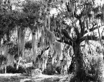 New Orleans Wall Art, Nature Photography, Oak Tree Photograph, Black and White Landscape Fine Art Print, Louisiana, City Park, Home Decor