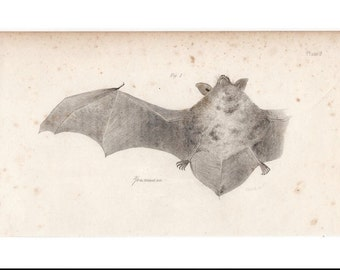 1842 ANTIQUE BAT PRINT original antique chiroptera bat lithograph - carolina bat