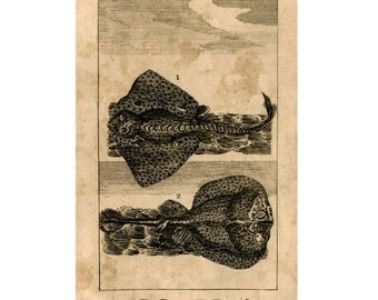 1808 ANTIQUE RAYS PRINT - original antique animal engraving print - the ray & the torpedo