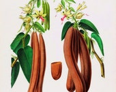antique french botanical print vanilla illustration digital download