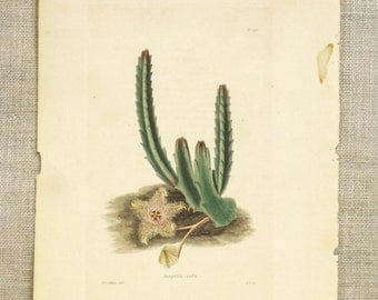 Engraving , Antique Book Plate , Cactus , George Cooke , G Loddiges , Stapelia Rufa , Succulent , Africa , Plant , Carrion Flower , Flower