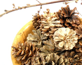 Bleached Pine Cones for Crafts, Decor, Holidays, Beach