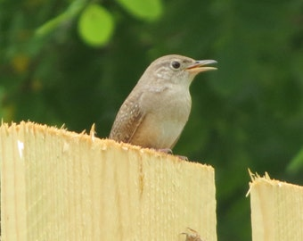 Carolina Wren Digital Download