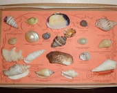 Vintage Boxed Seashell Collection 20 Shells cottage Beach Seaside Decor