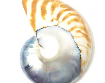 Nautilus Shell Cabochon, Blue-Gray and Tiger Stripe, Flat Back Cab, 9 or 6 Shape, Spiral, Curved, 50mm x 65mm, Large, Big, 1pc - ID 2194
