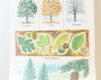 vintage educational print laminated 11 x 14 1967 ephemera White oak Trees
