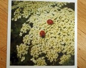 Ladybugs and Queen Anne's Lace Photo Print