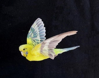 Flying Yellow Green Charcoal Parakeet Real Bird Taxidermy Mount Aviary Bred Mutant