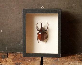 Vintage Large Scarab Beetle Specimen Mounted in Shadow Box Frame - Natural History Decor!