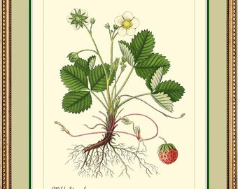 WILD STRAWBERRY - Botanical print reproduction -  301