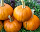 Pie Pumpkin New England Sugar Pie Grown to Organic Standards Superior Quality Rare Seeds
