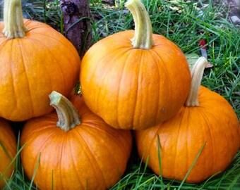 Pie Pumpkin New England Sugar Pie Grown to Organic Standards Superior Quality Rare Seeds