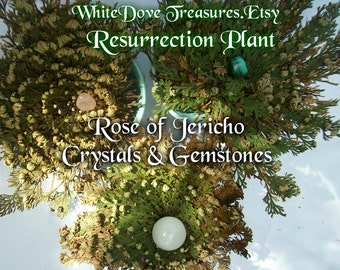 "ROSE of JERICHO PLANT Resurrection Flower Lg 10"" House Plant Gemstone Love Protect Money Altar Spell Earth Magic Feng Shui Goddess Gift Box"