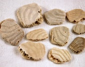 10 fossil sand dollar pieces (no.22)