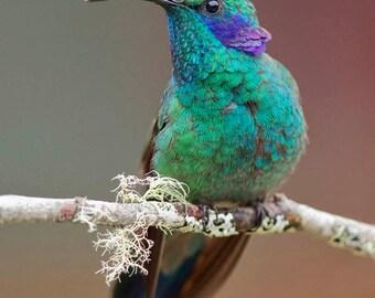 Photo of a Green Violet-ear Hummingbird, Costa Rica