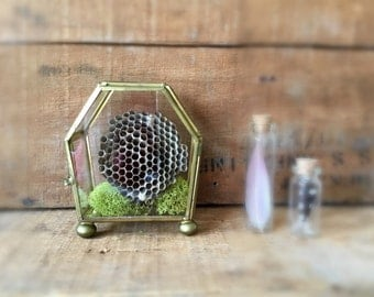 Vintage Glass Curiosity Cabinet With or Without Wasp Nest