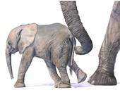 Elephant print of watercolor painting - E0915 - A3 print - elephant art - nursery art - art for baby - baby animal art