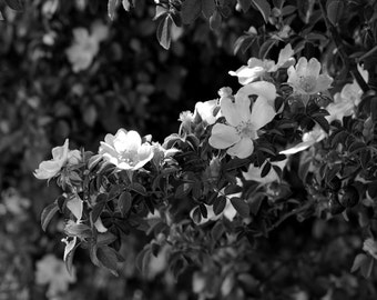 Black and White Flowers, Large Wall Art, 16x20
