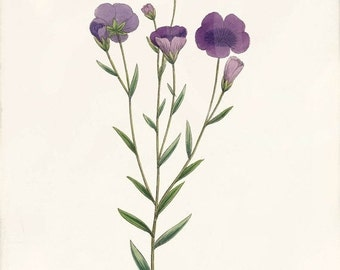ON SALE Beautiful Antique Botanical Print - Home Decor - Common Flax 1