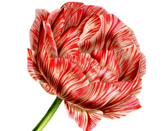 Striped Tulip Vintage Style Art Print Red and White Stripes Pink Garden Spring Floral Home Decor