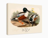 """Canvas Print - Shoveller Duck by John Gould (1804-1881) - 16"""" x 20"""" - On Stretched Canvas"""