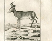 1811 Red Hartebeest Antique Print Copper Engraving  Authentic 200 Years Old Copper Engraving, Le Bubale Camaa , Buffon