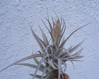 Tillandsia Correalei Purple