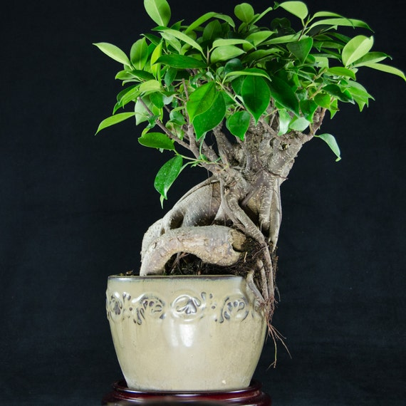 ginseng ficus kifu bonsai tree ficus microcarpa 0797. Black Bedroom Furniture Sets. Home Design Ideas