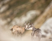 Goat print. Mountain goats photography. Mother child art. Nursery wall art nature photo. Mom and baby home decor. Cute kiss rustic wallart