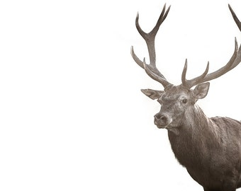 Deer print. Red stag photography. Nature photo wall art of buck with large antlers. Wildlife home decor. Rustic woodland minimalist decor