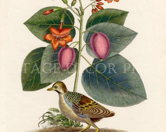 Botanical Print of The Cordia Sebestena and Italian Runner by John Wilkes Dated 1803 Hand Coloured Sebesten Plum Engraving by Catesby.