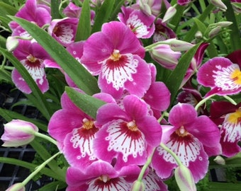 Miltoniopsis Keiko Komoda orchid, blooming size pink with white waterfall lip