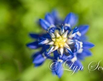 Bluebonnet  - fine art print, landscape photography, Texas, Hill Country, western, spring, flowers, macro, bluebonnets