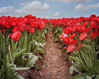 Red Tulips, Tulip Field, Color Flower Print,  Skagit Valley Washington State  Gift For Her Nature Photography, Home & Office Wall Art, fpoe