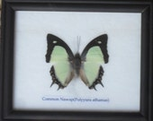 Real BUTTERFLY Collection Taxidermy in Frame / BTF01Z