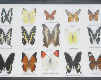 REAL 15 BEAUTIFUL BUTTERFLIES Collection in Frame/BF17Y
