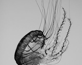 ocean photograph, jellyfish, sea life, black and white, large photograph, print, beach house decor, sea creature, wall art