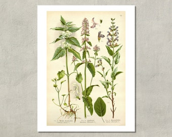 Sage German Botanical Print, 1905 - 8.5x11 Reproduction Antique Print - also available in 11x14 and 13x19 - see listing details