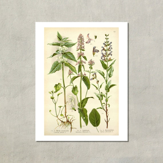 Sage German Botanical Print 1905 8 5x11 Reproduction