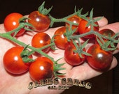 Blue Berries Tomato Seeds - HEAVY PRODUCER