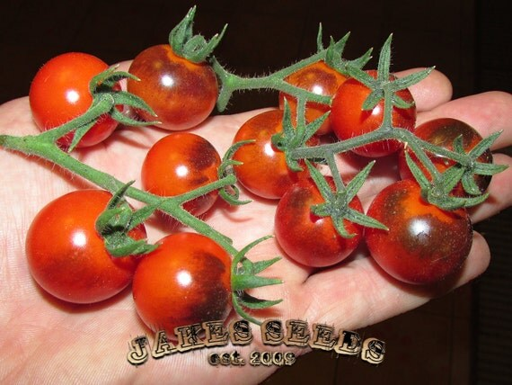 Blue Berries Tomato Seeds Heavy Producer From Jakeseeds