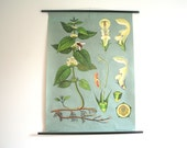 Vintage. Pull down chart. Botanical. School. Biology. Plant Science. Poster. Mid Century German DDR. Educational. Canvas. White Nettle (514)