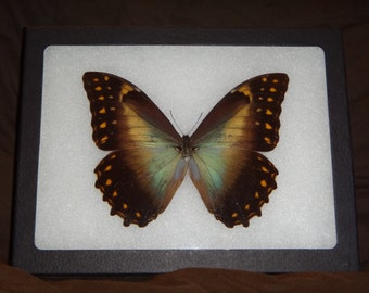 Framed Butterfly Morpho species from South America Wing Art Display Butterfly Collection #1-4