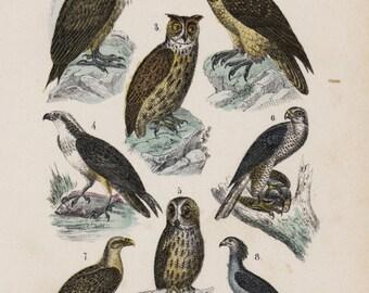 1890  Natural history colored lithograph of  Wild birds owls  Natural History  Original art decor home decor